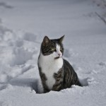 tora-in-the-snow